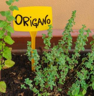 coltivare origano