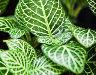 Calatea calathea fam marantaceae donnad for Maranta pianta