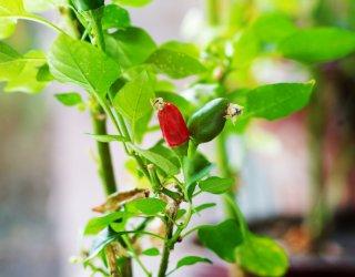 Peperoncino capsicum annuum fam solanaceae donnad - Peperoncino pianta perenne ...
