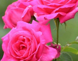 Come potare le rose donnad for Potare le rose