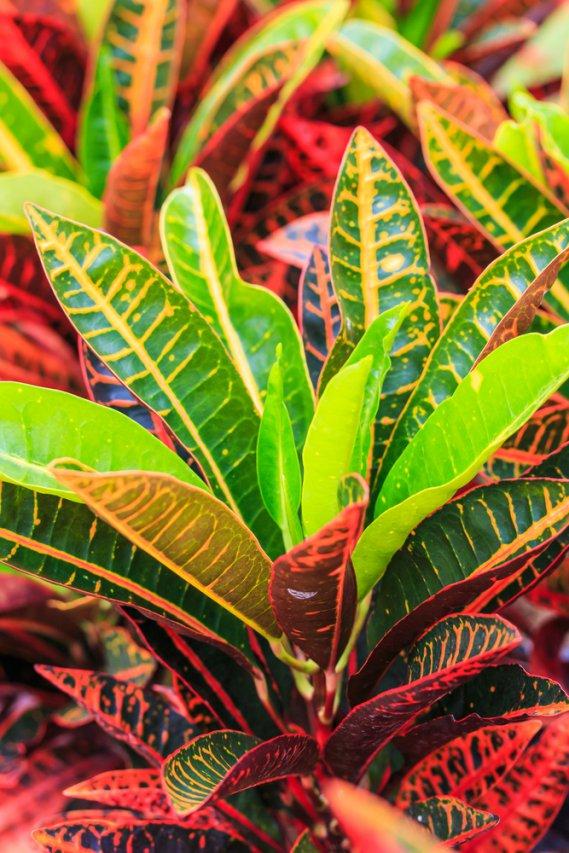 Croton - Codiaeum Variegatum fam Euphorbiaceae  DonnaD