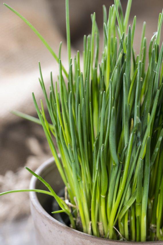 Piante Di Erba : Erba cipollina allium schoenoprasum fam liliaceae donnad