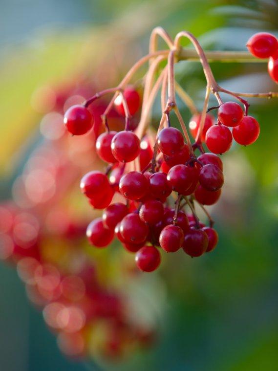Giardino di mille colori con le bacche donnad for Bacche rosse nomi