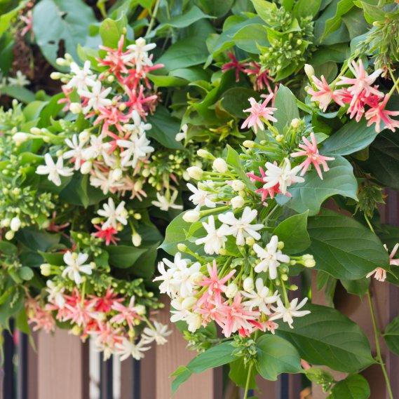 Il caprifoglio rampicante donnad - Plantas trepadoras de sol ...