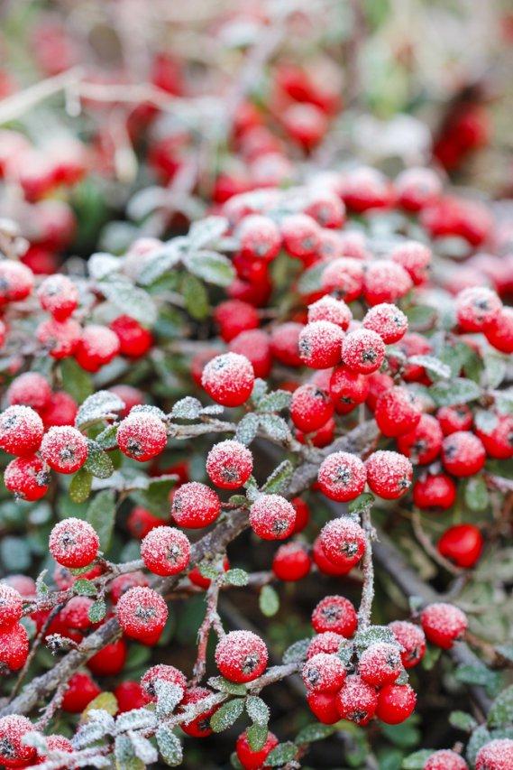 Inverno di mille colori con le bacche donnad for Bacche rosse nomi