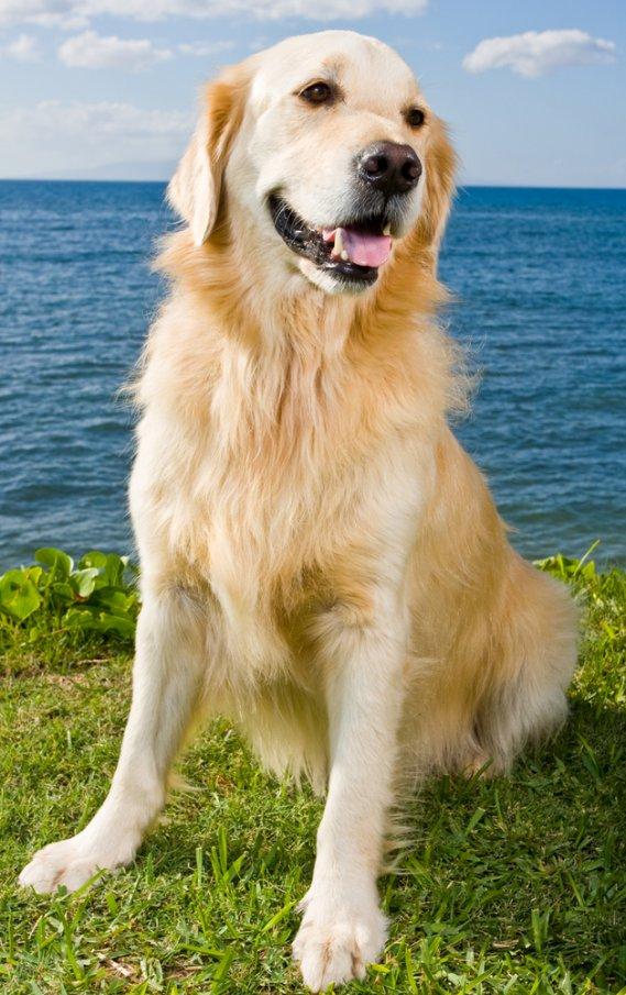 Labrador Retriever: Razza - Descrizione - Carattere - Cuccioli - Foto 23
