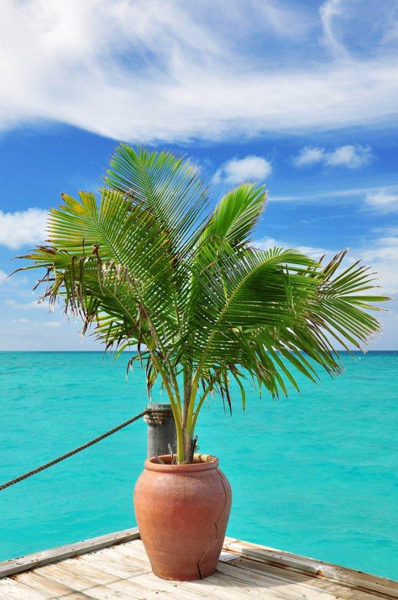 Palma da cocco cocos nucifera fam palmae donnad - Palma di cocco ...