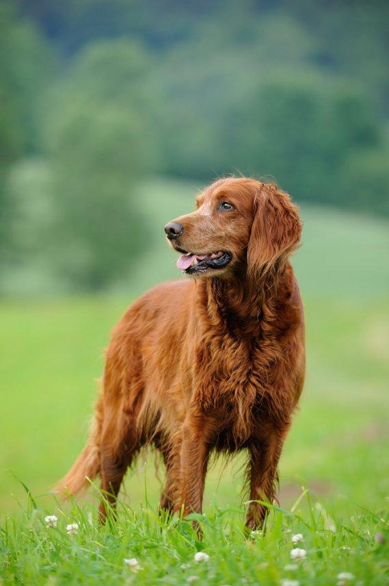 Setter irlandese cani da caccia donnad for Cane setter