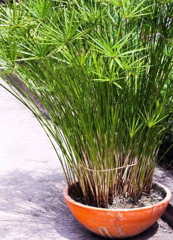 papiro pianta da appartamento donnad