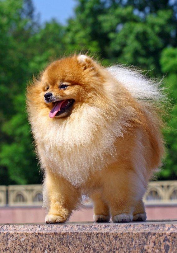 Volpino di pomerania cani da grembo donnad for Cani pomerania