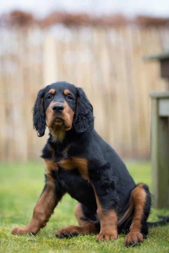 Setter gordon cani da caccia donnad for Cane setter