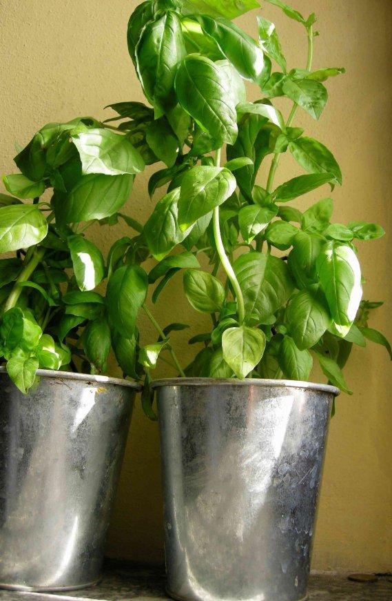 Come coltivare il basilico donnad for Coltivare il basilico
