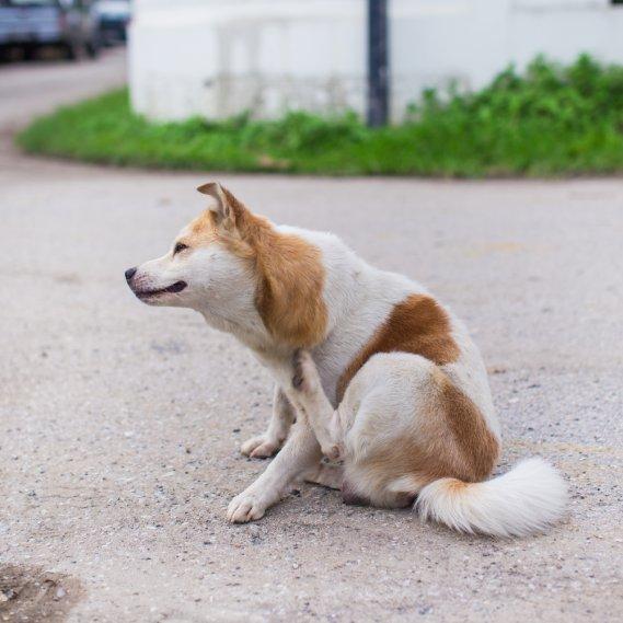 Eliminare le pulci come toglierle dal cane donnad for Eliminare le alghe dal laghetto