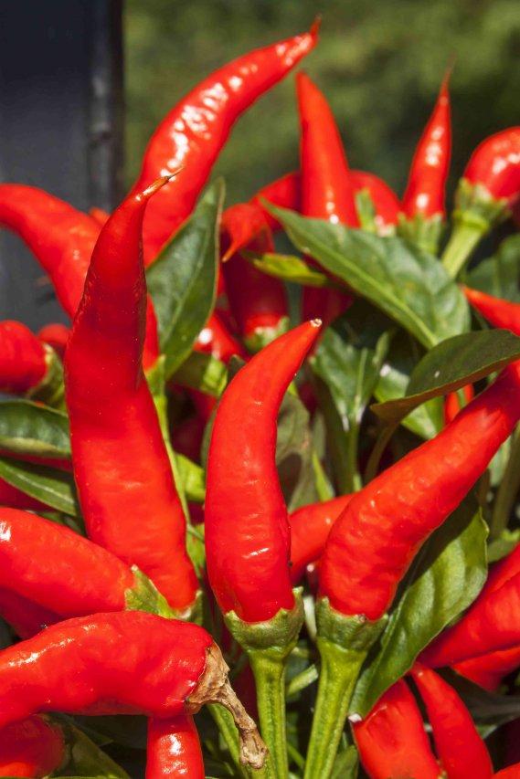 Come coltivare il peperoncino in casa la guida donnad - Come coltivare il basilico in casa ...