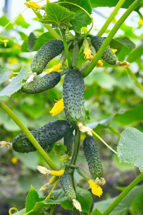 Cetrioli: come si coltiva il cetriolo nell'orto bio