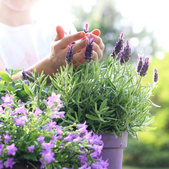7 motivi per coltivare la lavanda donnad for Pianta lavanda in vaso