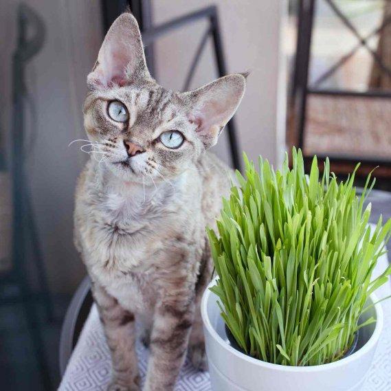 Erba gatta a cosa serve ed effetti sugli animali donnad Plantas seguras para gatos