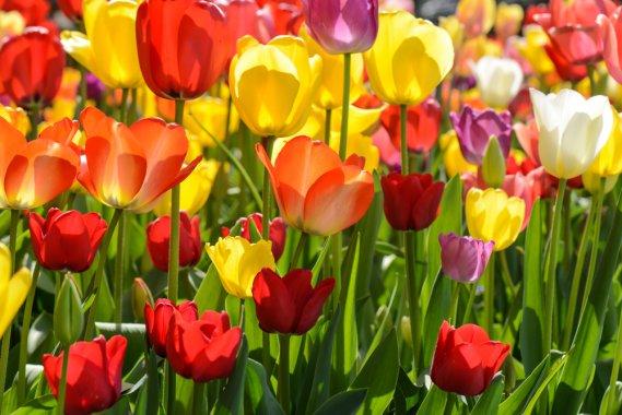 Come piantare e conservare i bubli di tulipano consigli for Fiori primaverili da balcone