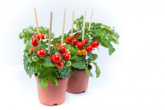 Coltivare i pomodori ciliegini con facilit donnad for Coltivare sul balcone