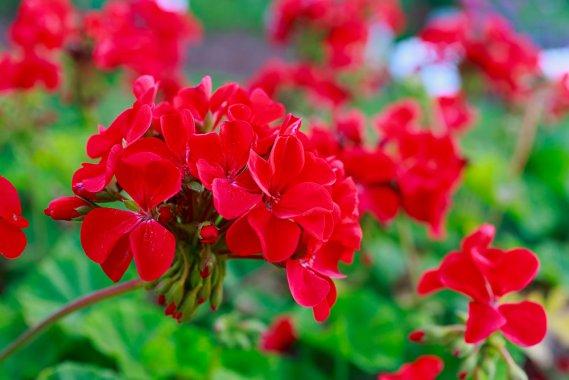 Fiori da balcone estivi i magnifici 5 donnad for Fiori e piante da balcone