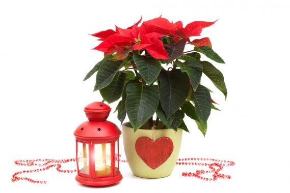 La Stella Di Natale Perde Le Foglie.Stella Di Natale 5 Trucchi Per Farla Durare A Lungo Donnad