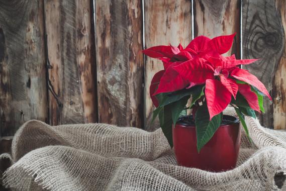 Stella Di Natale Appassita.Stella Di Natale Secca Cosa Fare Prima Di Buttarla Donnad