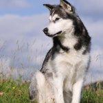 Alaskan Malamute, cane, descrizione