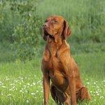 Bracco ungherese, Vizsla, cane, descrizione