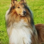 Pastore Shetland cane descrizione