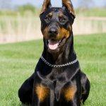 Dobermann, cane, descrizione