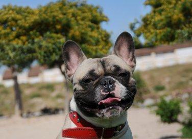 Bouledogue francese cani affezione
