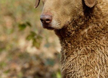 Chesapeake Bay Retriver cani caccia