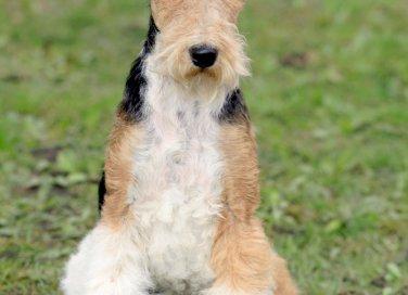 Fox Terrier a pelo duro, cane, descrizione