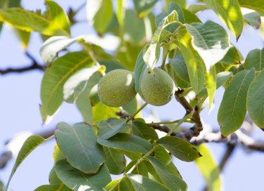 noce albero benefici salute