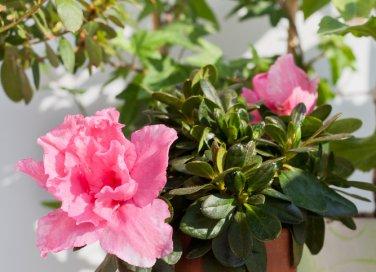 azalea-arbusto-pianta