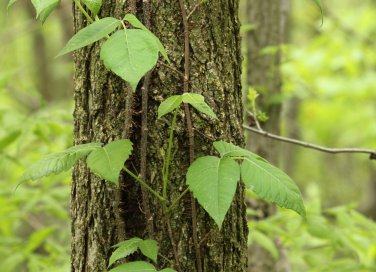 Edera, pianta sacra