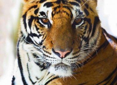 oroscopo cinese tigre