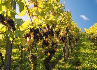 La cura dell'uva (Traubenkur): ecco i posti più belli d'Italia ed Europa