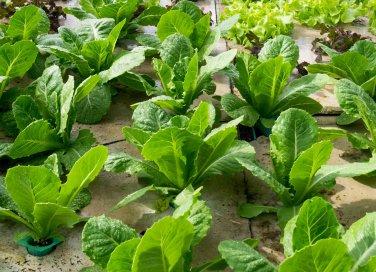 Mirtillo coltivazione cura e potatura donnad for Coltivare more in vaso