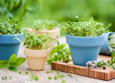 come coltivare le piante aromatiche in vaso