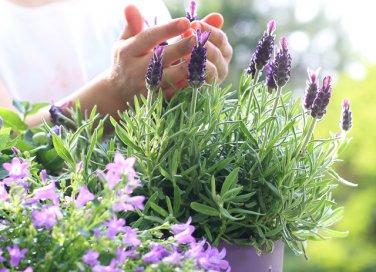 7 motivi per coltivare la lavanda