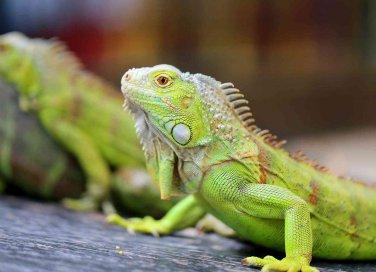 iguana verde in casa