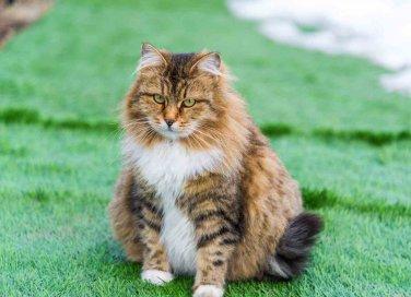 Gestazione gatti
