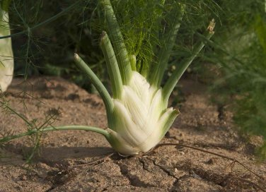 coltivazione finocchio guida