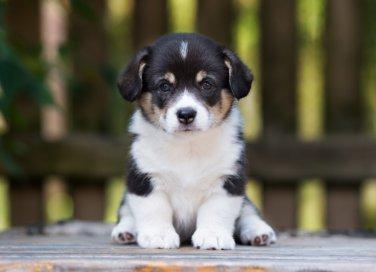 educazione canina, cucciolo, stare seduto