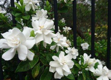 coltivare gardenia, gardenia foglie gialle