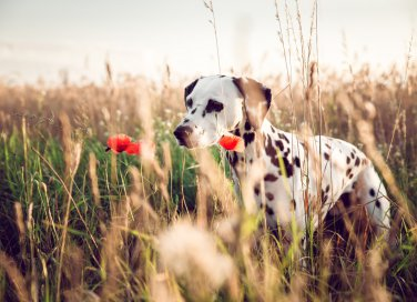 animali domestici, cane, allarme forasacchi