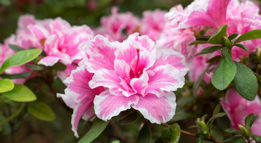 giardinaggio primavera, fiori primavera