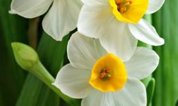 narciso-fiori-pianta
