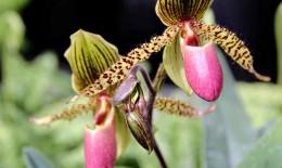 come far rifiorire un'orchidea